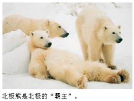 北极熊为什么不怕冷?
