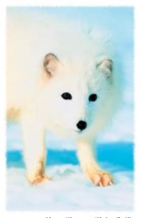 """狐狸真的是""""智多星""""吗?"""