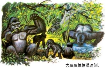 大猩猩很凶吗?
