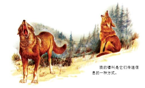 野狼为什么嚎叫?