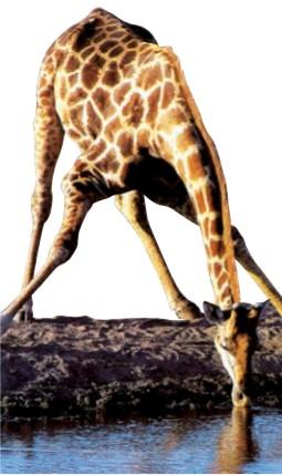 长颈鹿怎么喝水?
