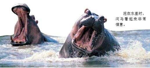 河马为什么总喜欢泡在水里?