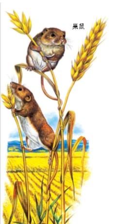 巢鼠的巢在哪里?