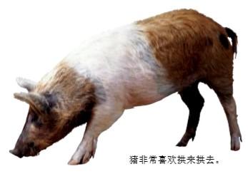 猪为什么爱拱地?