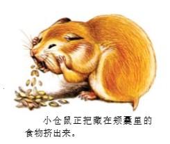 小仓鼠为什么一次能吃那么多东西?