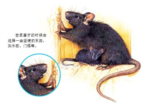 老鼠为什么喜欢磨牙?