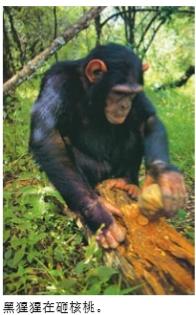 黑猩猩会制造工具吗?